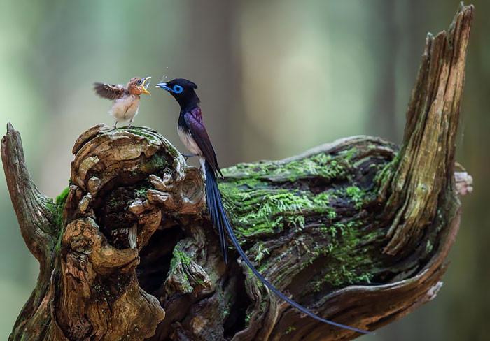 25 трогательных фотографий птиц, заботящихся о своих птенцах (25фото)