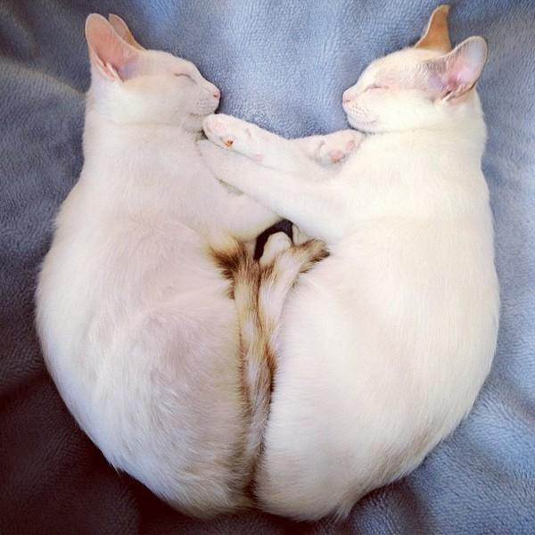 Когда в матрице произошел сбой: коты-клоны (22фото)