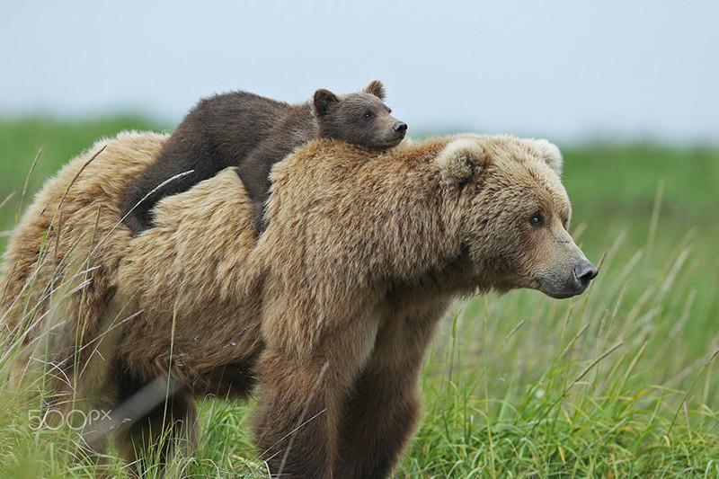 Самые трогательные мамы-медведицы и их медвежата (55фото)
