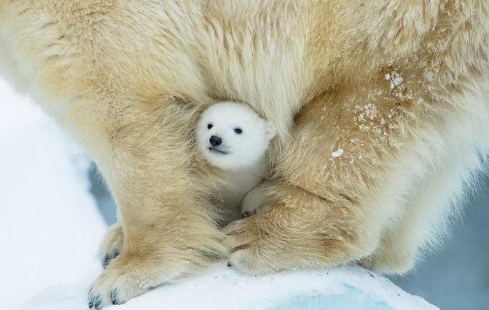 Несмотря на грозный вид, медведи очень любят своих детишек (10фото)