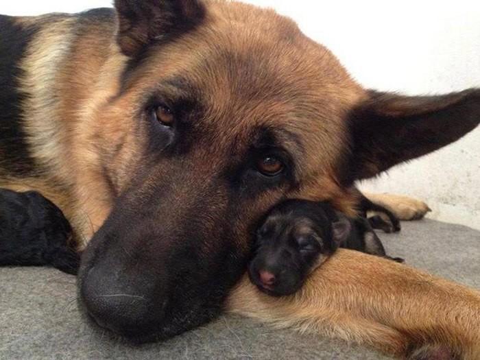 Собаки со своими щенками (10фото)