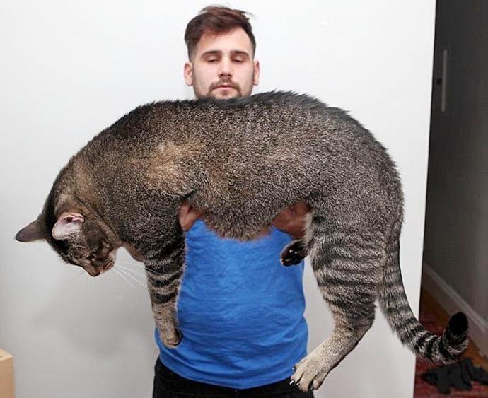 Самые большие коты в мире (22фото)
