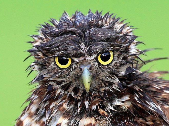 Мокрые совы, которых хочется просто взять и обогреть (18фото)