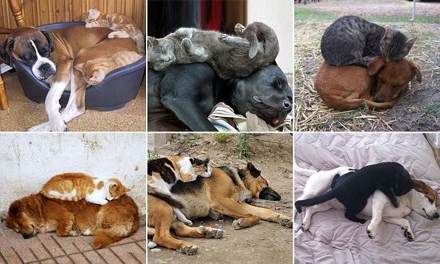 Наглость зашкаливает: коты, использующие собак вместо подушки (31фото+1видео)