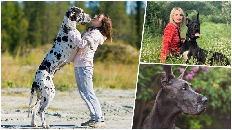 Немецкий дог: одна из самых больших пород собак в мире (26фото)