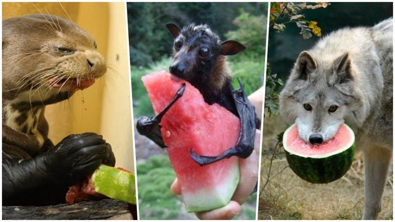 20 прелестных животных, которые просто обожают арбузы (22фото)