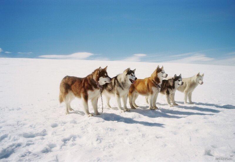 Как собаки Южный полюс открывали (8фото)