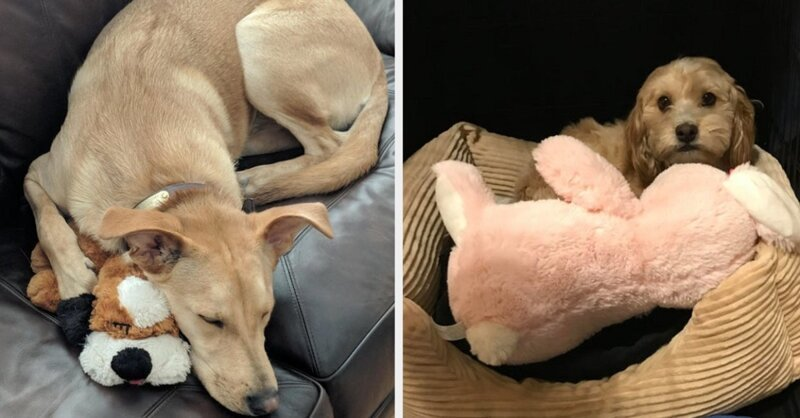 Собаки, которые преданы своим любимым игрушкам (16фото)