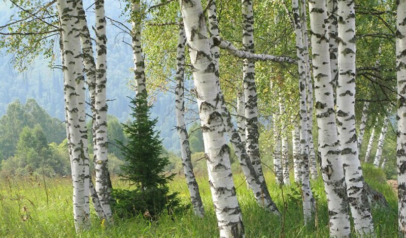 6 главных деревьев, которые помогут выжить в лесу (6фото)