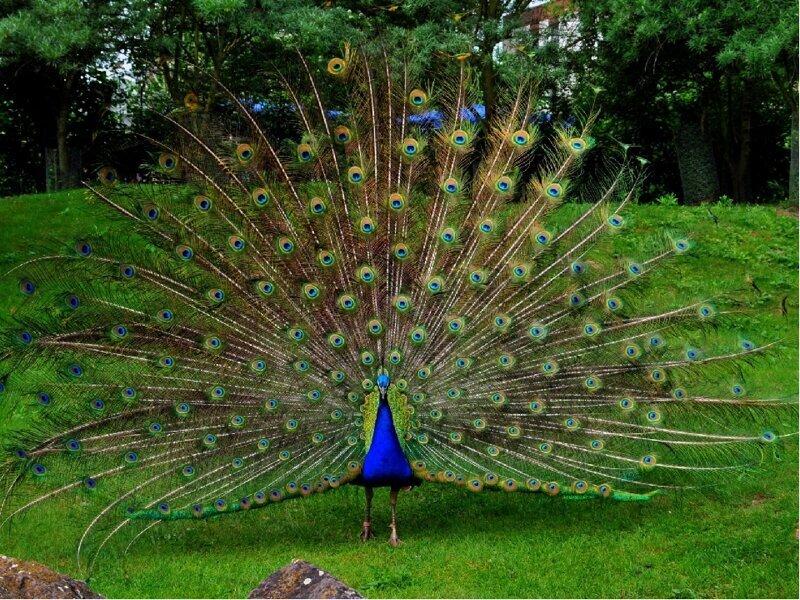 Павлин – самая красивая птица в мире (11фото)