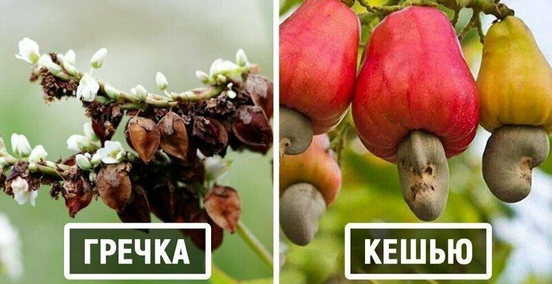 15 удивительных растений, которые вы едите, но не знаете, как они растут (15фото)