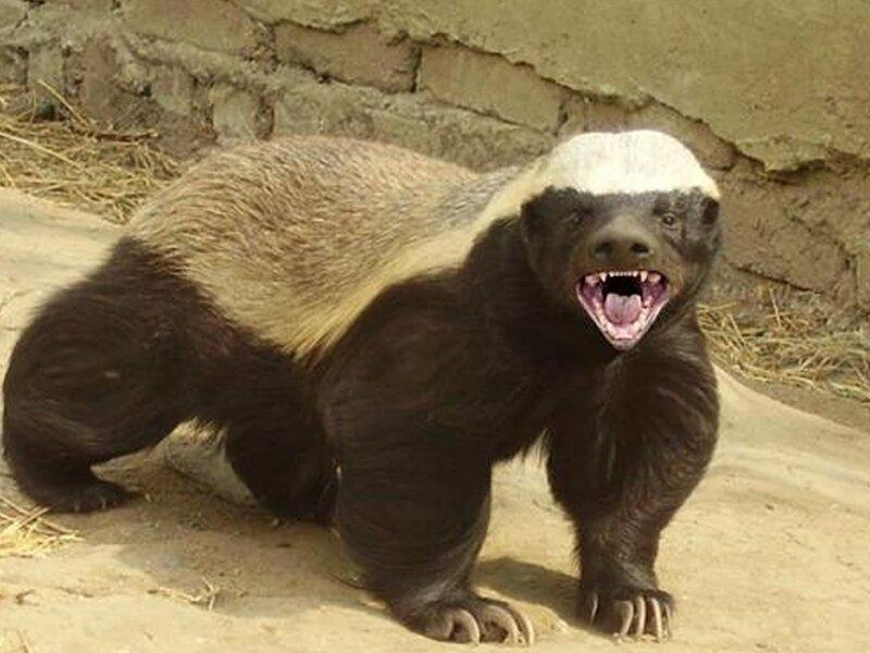 Самое агрессивное и бесстрашное животное в мире (13фото)