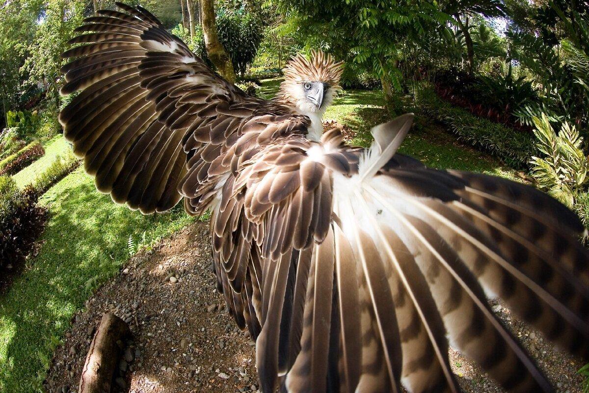 Обезьяноед: Гигантский орёл против приматов. Как охотится птица с «особым» рационом? (8фото)
