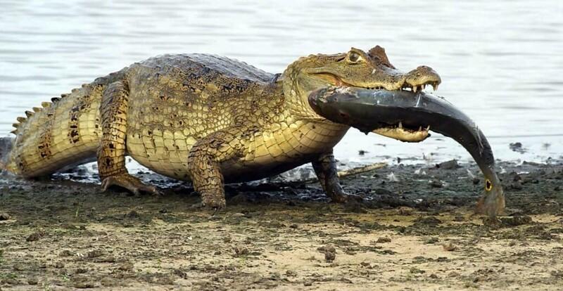С какой скоростью крокодил может двигаться на суше и воде? (6фото)