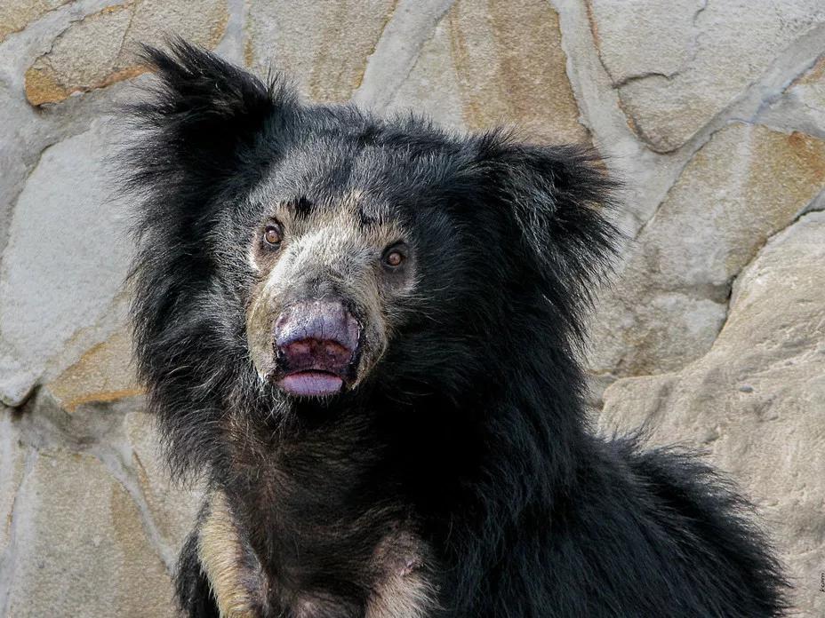 Губач: Маленький, слабый и нелепый. Индийские медведи похожи на недоразумение (10фото)