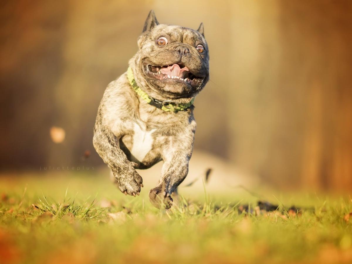 Брахицефалия: Мука длиною в жизнь. Правда о всех «плоскомордых» породах собак (10фото)