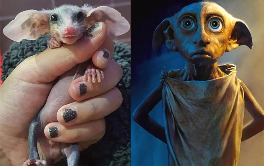 Белобрюхий опоссум: Добби из Гарри Поттера в реальности. Ушастый, сумчатый и сверхплодовитый (8фото)