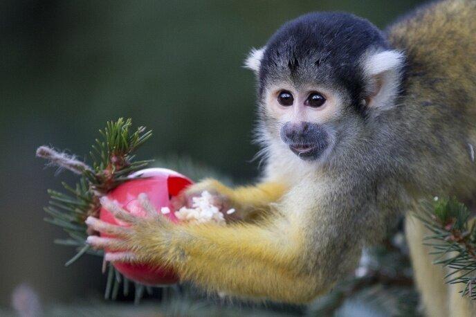 13 любопытных фактов про обезьян (13фото)