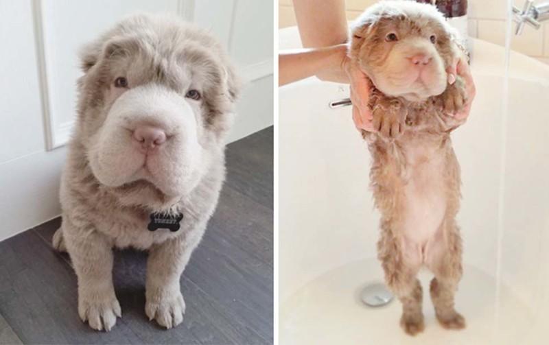 Мокрой псины пост: смешные собаки до и после купания (30фото)