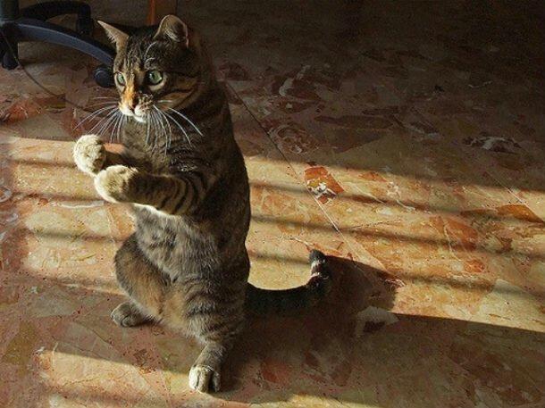 25 ситуаций, в которых кошки ведут себя как люди (25фото)