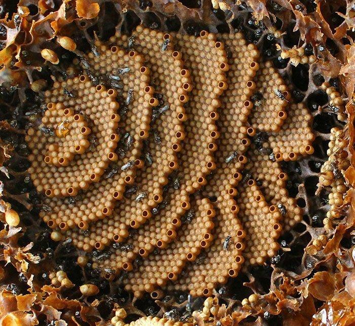 Пчелы из Австралии строят спиральные гнезда (16фото)